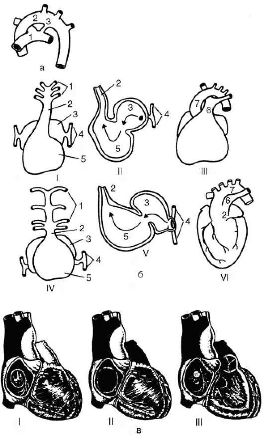 развития сердца и сосудов