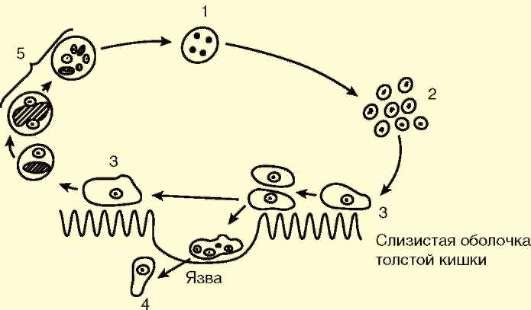 Цикл развития дизентерийной