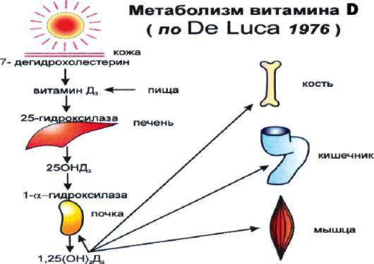 Метаболизм витамина Д (De Luca