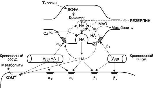 Схема адренергического