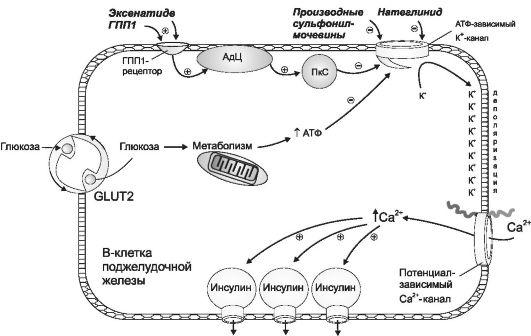 Регуляция выделения инсулина