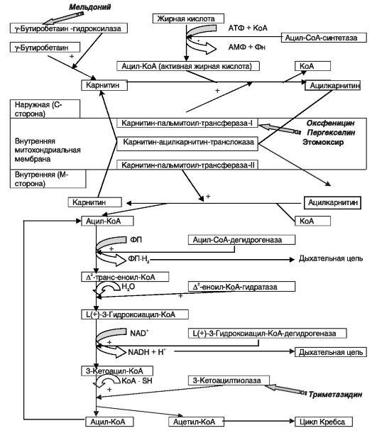 Схема 8.2. β-окисление жирных