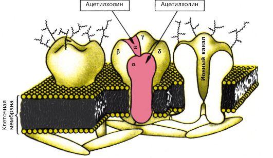 Рис10локализация холинорецепторов