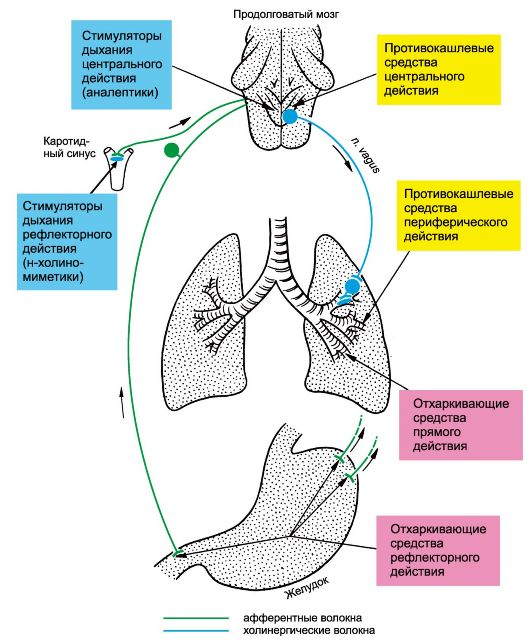 функции органов дыхания.