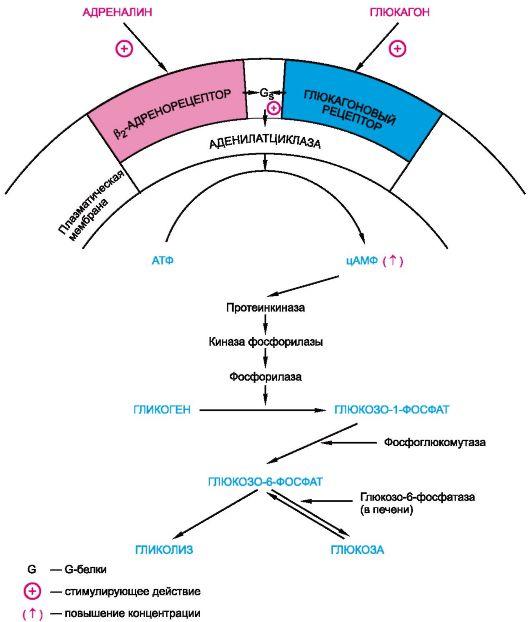 гликонеогенез - синтез