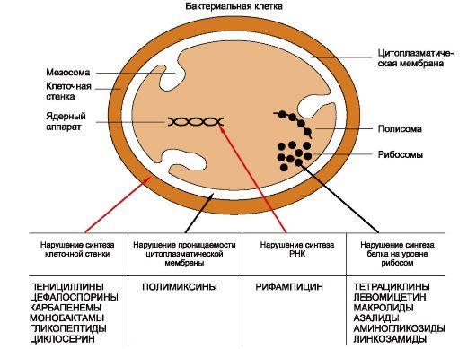 Антибиотики действующие на клеточную стенку бактерий