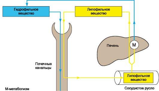 Схема выведения гидрофильных и