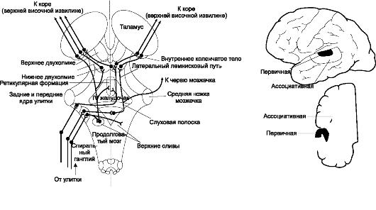А. Основные слуховые пути (вид