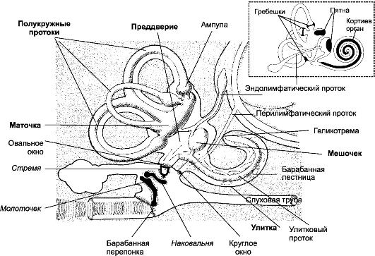 зачернены) органов слуха и
