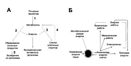 А. Общая схема обмена веществ