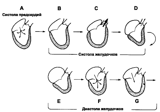 Сердечный цикл. Схема. A