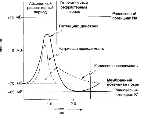 ГЛАВА 5. ФИЗИОЛОГИЯ НЕЙРОНОВ.