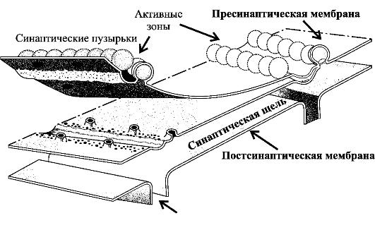 Активные зоны нервно-мышечного