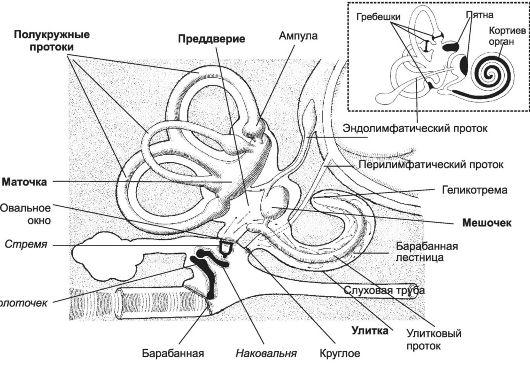 11-2) органа слуха расположены