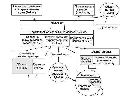 Схема обмена железа (Fe) в