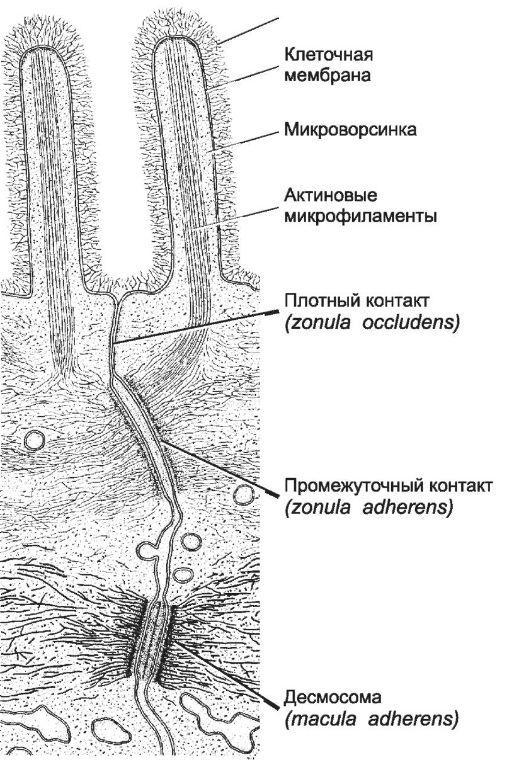 Межклеточный