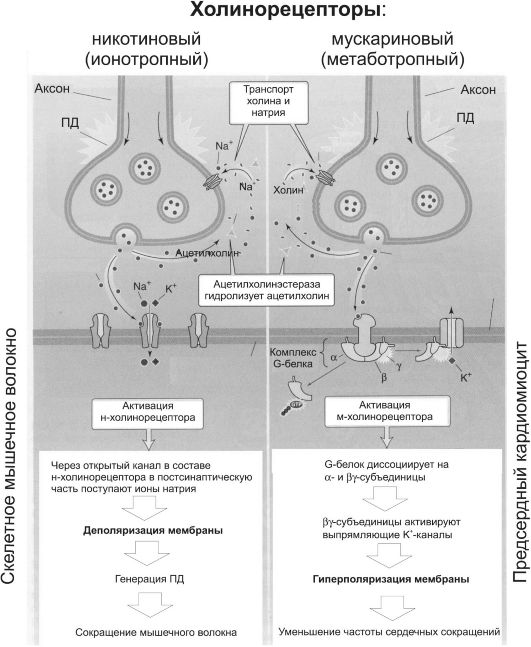 Холинергические синапсы схема