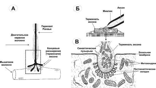 Нервно-мышечный синапс (А и Б