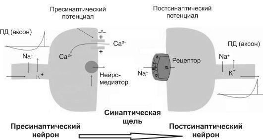 Межнейронный холинергический