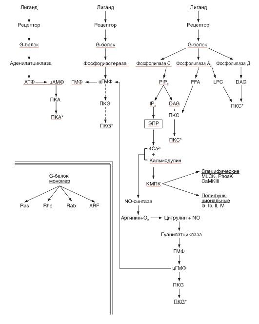 Мембранные рецепторы