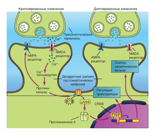 Рецепторы NMDA и AMPA
