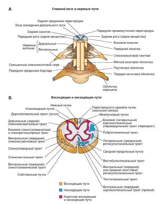 А - нервные пути спинного