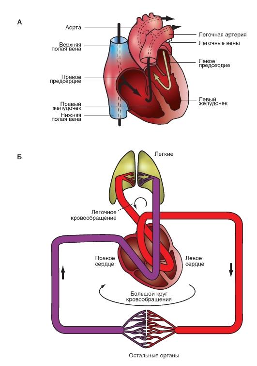 Структура сердечно-сосудистой