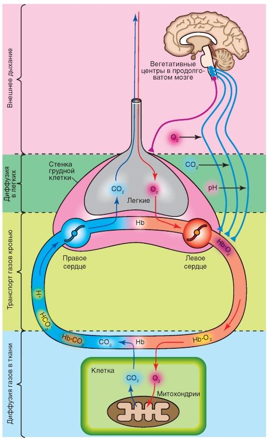 вакансиям химия обьяснять процесс дыхания приложение