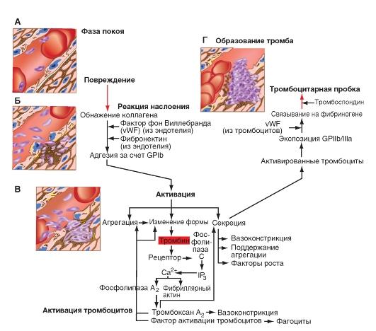 Факторы свертывания крови