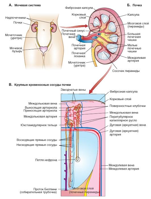 Кровеносные системы почки