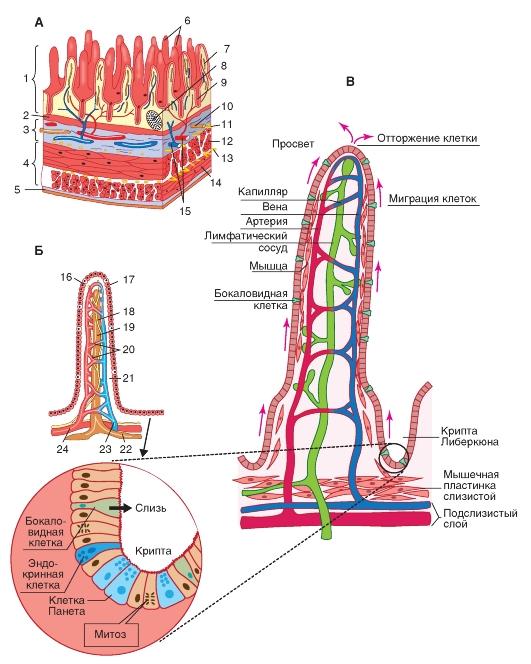 ворсинки, сеть кровеносных