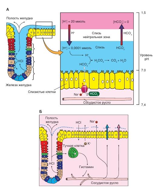 Структура стенки тонкой кишки