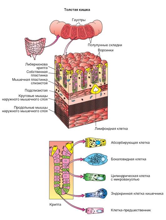 Морфогистологическое строение