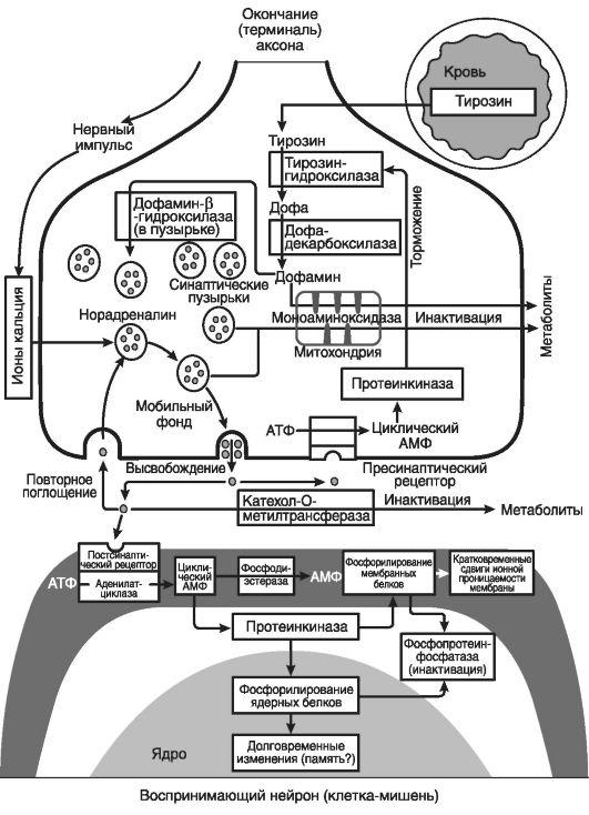 Схема работы синапса
