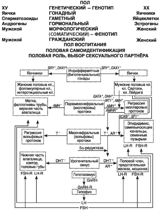 Патофизиологические механизмы нарушения репродуктивно и сексуальной функции при гипергонадотропной