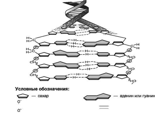 Схема структуры молекулы ДНК