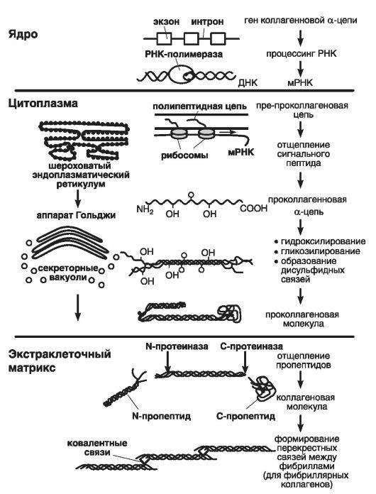 Схема синтеза коллагеновых