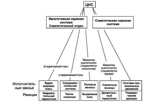 Схема нервного контроля