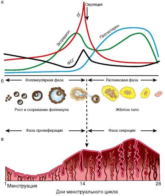 менструального цикла