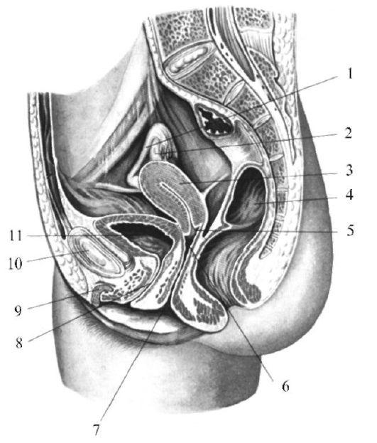 Внутренние половые органы