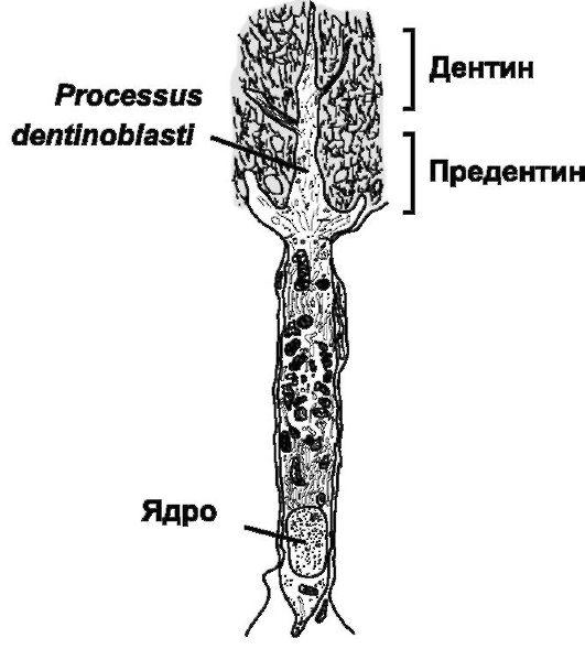 Одонтобласт
