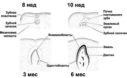 Отсутствует зачаток коренного зуба