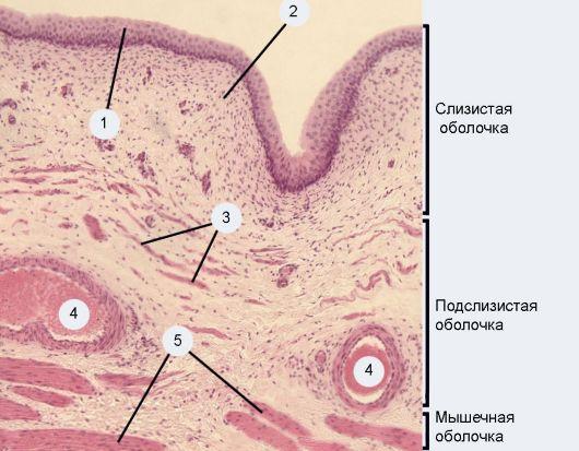 epiteliy-vlagalisha-povishen