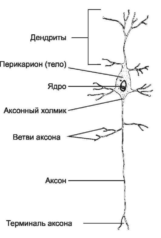 Перикарион фото