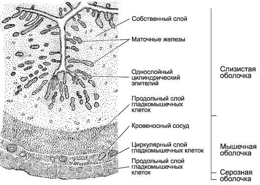mnogosloyniy-ploskiy-epiteliy-vlagalisha-anatomicheskoe-izobrazhenie