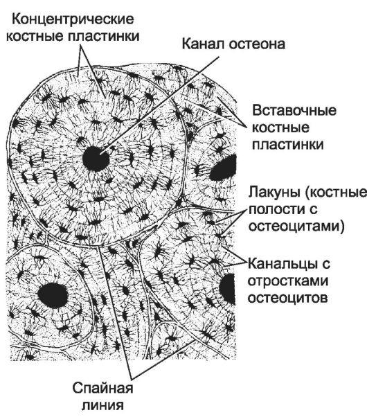 канал остеона фото