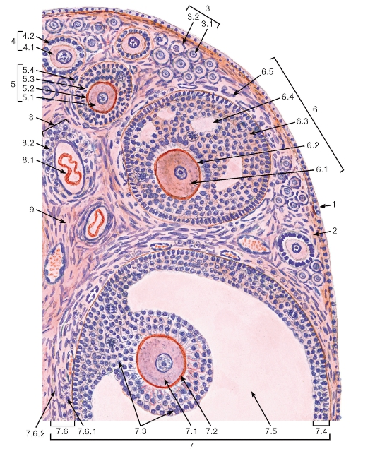 Синцитиотрофобласт фото