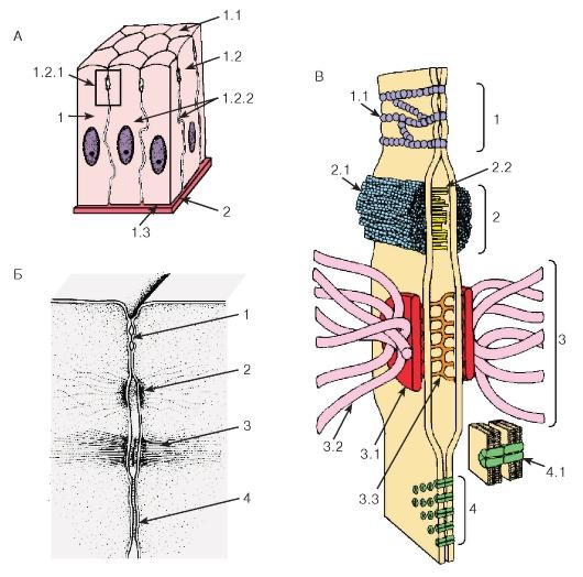 Схема межклеточных соединений