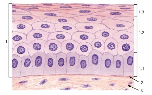 эпителий (роговица)
