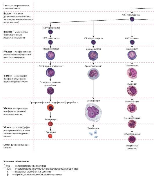 Схема кроветворения